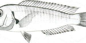 Branchiostegus semifasciatus
