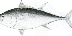 Thunnus thynnus thynnus (Linnaeus, 1758)