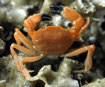 Espèce Neopilumnoplax corallicola trouvée dans la barrière corallienne de la Mauritanie