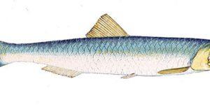 Biologie et dynamique des populations d'Anchois (Engraulis encrasicolus) des côtes mauritaniennes.