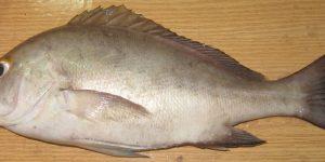 Régime alimentaire du diagramme gris Plectorhynchus mediterraneus (guichenot, 1850), (poisson, haemulidae) des côtes Mauritaniennes