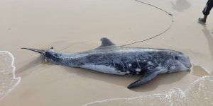 Un dauphin Echoué au large de Nouakchott